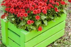crisantemo rojo en cajón de madera verde en el jardín Fotografía de archivo libre de regalías