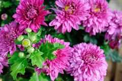 Crisantemo rosa Fotografia Stock