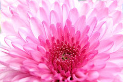 Crisantemo rosa Fotografia Stock Libera da Diritti