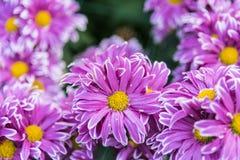 Crisantemo rosa Fotografie Stock