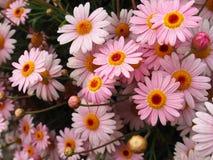 Crisantemo rosa Immagini Stock