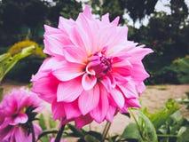Crisantemo rosa Immagine Stock