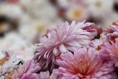 Crisantemo rosa claro Imágenes de archivo libres de regalías