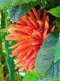 Crisantemo rosa nascosto Fotografia Stock