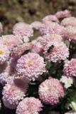 Crisantemo rosa nel giardino botanico di Nikitskiy, Crimea Fotografia Stock