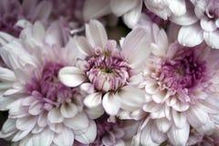 Crisantemo rosado blanco Imagenes de archivo