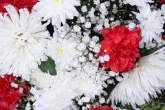 Crisantemo rosado hermoso como imagen del fondo Papel pintado del crisantemo, crisantemos en otoño fotografía de archivo libre de regalías