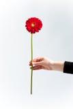Crisantemo rosso Fotografia Stock