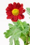 Crisantemo rosso con fogliame Fotografia Stock Libera da Diritti
