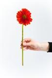 Crisantemo rosso, fronte Immagine Stock