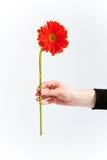 Crisantemo rosso, lato Immagine Stock Libera da Diritti
