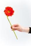 Crisantemo rosso, a voi Immagini Stock Libere da Diritti