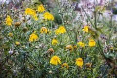 Crisantemo salvaje Imágenes de archivo libres de regalías