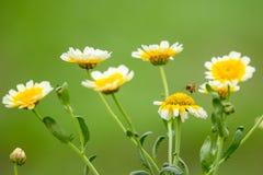 Crisantemo selvaggio Fotografia Stock