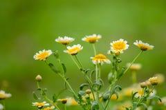 Crisantemo selvaggio Fotografie Stock