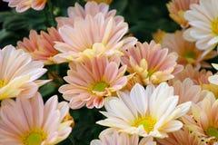 Crisantemo (Shannon Xi Yun del sud) Immagini Stock
