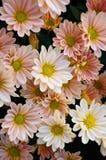 Crisantemo (Shannon Xi Yun del sud) Immagini Stock Libere da Diritti