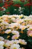 Crisantemo (Shannon Xi Yun del sur) Fotografía de archivo