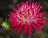 Crisantemo su fuoco Fotografie Stock