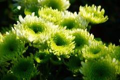 Crisantemo verde Fotos de archivo libres de regalías