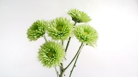 Crisantemo verde Fotografie Stock