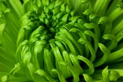 Crisantemo verde Foto de archivo