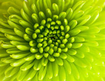 Crisantemo verde Imagenes de archivo