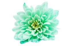Crisantemo verde chiaro Fotografia Stock