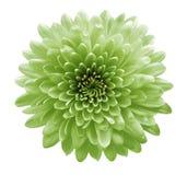 Crisantemo verde de las flores Fondo aislado blanco con la trayectoria de recortes Primer ningunas sombras Para el dise?o imagen de archivo libre de regalías