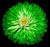 Crisantemo verde del fiore, fiore del giardino sui precedenti isolati bianchi neri closeup immagini stock libere da diritti