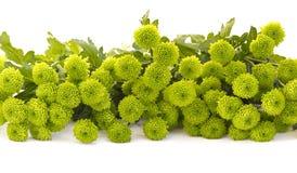 Crisantemo verde isolato fotografie stock