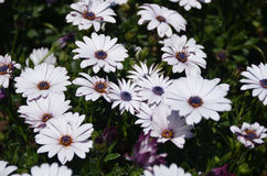 Crisantemo violetto-chiaro fotografie stock