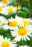 Crisantemo y abeja Fotografía de archivo