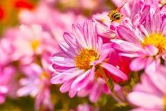 Crisantemo y abeja Fotografía de archivo libre de regalías