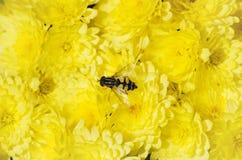 Crisantemo y abeja amarillos Imagenes de archivo