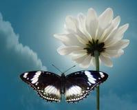 Crisantemo y mariposa de blanqueo de la luna en el cielo del fondo Imagen de archivo libre de regalías
