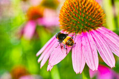 Crisantemo y una abeja Fotografía de archivo