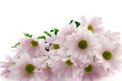 Crisantemos. Fotografía de archivo