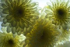 Crisantemos Imagen de archivo libre de regalías