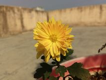 crisantemos Foto de archivo libre de regalías