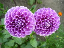 Crisantemos Fotografía de archivo