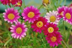 Crisantemos Imagenes de archivo
