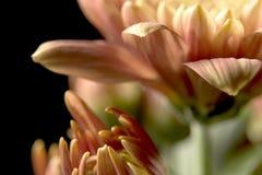 Crisantemos Imágenes de archivo libres de regalías
