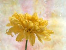 Crisantemos amarillos Imagenes de archivo
