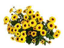 Crisantemos amarillos foto de archivo
