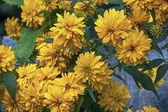 Crisantemos amarillos Imagen de archivo