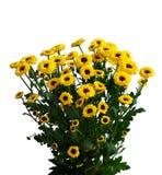 Crisantemos amarillos de la caída fotografía de archivo