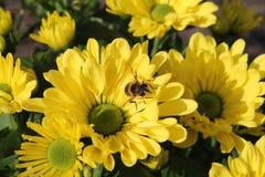 Crisantemos amarillos frescos con una abeja Imágenes de archivo libres de regalías