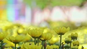 Crisantemos amarillos macros del primer en la luz del sol brillante almacen de metraje de vídeo