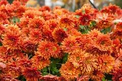 Crisantemos anaranjados Foto de archivo libre de regalías